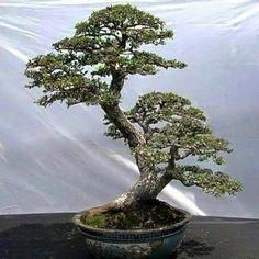 Beauty Japanese and Chinese Bonsai Pots for Your Home. Unique bonsai pots are used to add to the overall look of bonsai, especially for bonsai that have unique stem and root types. Unique pots we can get f. Indoor Bonsai Tree, Mini Bonsai, Bonsai Plants, Bonsai Garden, Bonsai Tattoo, Bonsai Styles, Miniature Trees, Greenhouse Gardening, Small Trees
