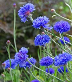 """Centaurea cyanus 'Blue Diadem' How hard is it to find old-fashioned TALL """"Bachelor Buttons"""" these days? Unless you grow them from seed, you'll probably only find those squatty ones sprayed with dwarfing chemicals that will never look as charming as these! Bright, richest blue, 2.5"""" wide, edible blooms on upright 3' branched stems is what you want and our favorite, 'Blue Diadem,' truly delivers!"""
