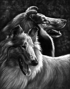 This is an inch mechanical graphite pencil drawing of two of the most beautiful collies I've ever seen. Arwen is the one in front and Cormic is be. Arwen and Cormic Smooth Collie, Rough Collie, Collie Dog, Pencil Portrait, Sheltie, Black And White Pictures, Beautiful Dogs, Animal Paintings, Dog Art