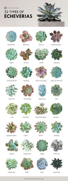 32 types of echeveria - Garden Types Echeveria, Crassula Succulent, Succulent Gardening, Cacti And Succulents, Planting Succulents, Planting Flowers, Succulent Species, Succulent Names, Types Of Succulents Plants