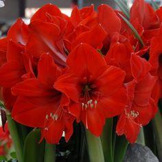 'Red Rival' ist eine wunderschöne Amaryllis mit großen, roten Blüten. Die Zwiebeln kommen ab November in die Pflanzgefäße und blühen dann als Zimmerpflanze mitten im Winter - online erhältlich bei www.fluwel.de
