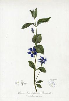 Botanical prints from Robert John Thornton, Botanical Extracts: or philosophy of botany 1810
