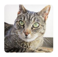 Tatiana, shy at first, will be curled up around your legs in no time. Is she the cat for you?