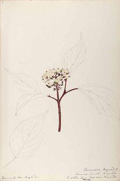 206324 Cornus sericea L. [as Cornus stolonifera Michx.]  / Sharp, Helen, Water-color sketches of American plants, especially New England,  (1888-1910) [Helen Sharp]
