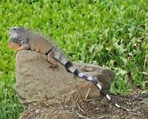 iguanas - Yahoo Image Search Results