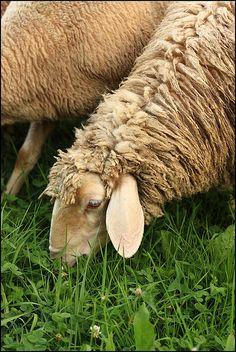 Counting Sheep, via Flickr.