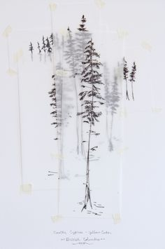 Yellow Cedar Ink Drawings - Emilie Crewe