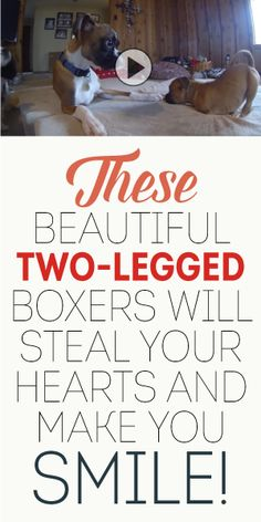 These Beautiful Two Legged-Boxers Will Steal Your Hearts And Make You Smile! <3