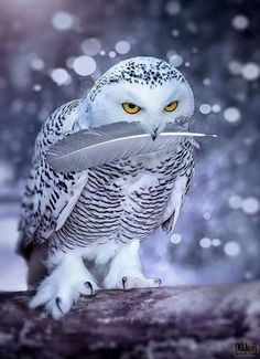 ❥ Snowy Owl & His Prize Feather via flickr #snow