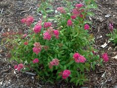 Gumball Spirea purplish tips on spring growth. Midsummer flowers 2x3