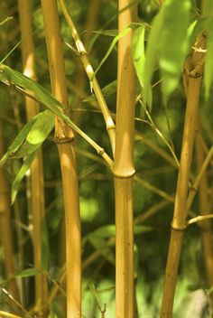 Most people already know that bamboo is a beautiful, exotic plant that comes in a variety of colors to brighten up the landscape. However, bamboo is also associated with being an invasive plant that can quickly take over an area. Today we are setting out to spread the facts about bamboo that people don't know. …