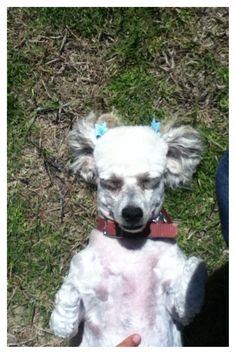 Adorable miniature poodle