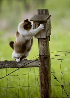House cat trying to catch a bird in a birdhouse on a fence on a farm near Rozburga, Oregon. Bird escaped.
