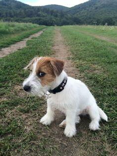 Jack Terrier, Parson Russell Terrier, Terrier Dogs, Bull Terriers, Chien Jack Russel, Jack Russell Puppies, Baby Puppies, Dogs And Puppies, Doggies