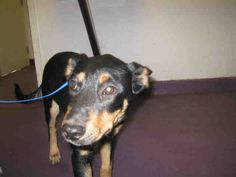 LINA-ID#A529120  My name is LINA.  I am a female, black and brown Doberman Pinscher.  The shelter staff think I am about 4 months old.  I have been at the shelter since Aug 02, 2014.  This information was refreshed 29 minutes ago and may not represent all of the animals at the Long Beach Animal Care Services.  Back For more information about this animal, call: Long Beach Animal Care Servicesat(562) 570-7387 Ask for information about animal ID number A529120