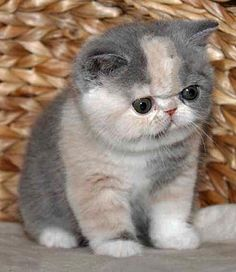 exotic shorthair kittens - if i owned this cat, i would NEVER be able to stop laughing when i look at him. I mean. Come on, that face is hilariously adorable.