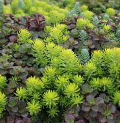15 Impossible-To-Kill Outdoor Plants Sedum: To Settle A Sedum Tile Into Its New Environment, Simply Drop It Onto Loose Soil, Water Well To Start, And Watch It Grow. Hardy Perennials, Hardy Plants, Sedum Ground Cover, Perennial Ground Cover, Flowering Ground Cover Perennials, Ground Cover Plants Shade, Succulent Ground Cover, Flowering Shrubs, Succulents Garden