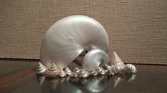 Stunning pearled Nautilus Sea Shells with a mix of others
