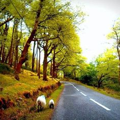 There are lots of things you can meet along the road on a road trip through Connamara can Picture by @e_u_l_i #thewildatlanticway #connamara #lovethiscountry #instairland #irelandcalling #ireland_gram #westcoast #beatifulnature #sheep #discoverireland #irishnews #loveireland #Galway #thewildatlanticwaygalway #roadtrip #loveireland #wanderireland