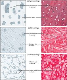 Image from https://courses.candelalearning.com/anatomyphysiology/wp-content/uploads/sites/18/2014/07/412_Types_of_Cartilage-new.jpg.