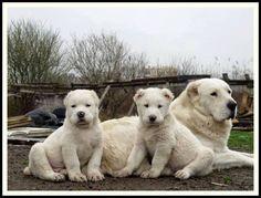 Alabai mom with kids!!