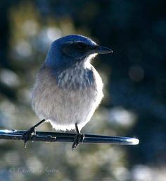 scrub jay of New Mexico