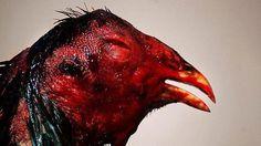 Spain. Ban cockfighting. Petition · Prohibir las peleas de gallos. · Change.org