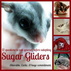 """Ooooh, Mom, we need one of these!""  That's what my 11-year-old daughter had to say about sugar gliders, increasingly popular exotic pets native to Australia and New Guinea."