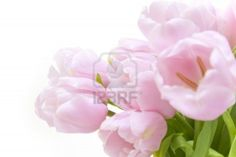 Tulips flowers  / horizontal with copyspace  / isolated on white