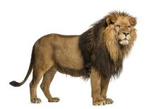 Find Side View Lion Standing Panthera Leo stock images in HD and millions of other royalty-free stock photos, illustrations and vectors in the Shutterstock collection. Lion Images, Lion Pictures, Zoo Animals, Cute Animals, Lion Walking, Lion Sketch, Lions Photos, African Grey Parrot, Lion Print