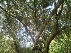 Olive tree in orchard