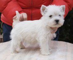 westies puppy