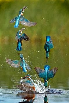 Ciclo de pesca de un Martin pescador (Alcedo atthis). Fishing cycle of a kingfisher. Pretty Birds, Love Birds, Beautiful Birds, Animals Beautiful, Cute Animals, Zoo Animals, Beautiful Things, Exotic Birds, Colorful Birds