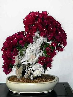 Bonsai… bougainvillea primavera