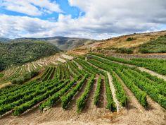 Zo hangen de godello druifjes erbij in Valdeorras...