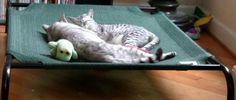 Afternoon catnap buddies #Cassiethekitten  #EgyptianMau  #SilverEgyptianMau  #egyptianmausoftwitter #egyptianmausofinstagram #egyptianmausoffacebook #catsoftwitter #catsofinstagram #catsoffacebook #catsofscope #cutekitten #petsoriginal