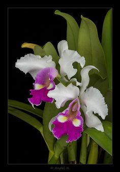Cattleya x hardyana semi alba 'emmily' Rare Flowers, Flowers Nature, Exotic Flowers, Amazing Flowers, Agaves, Orchid Varieties, Types Of Orchids, Orchid Show, Cattleya Orchid