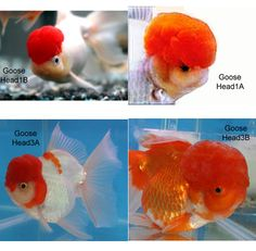 1000 images about fancy gold fish on pinterest goldfish for Live koi for sale