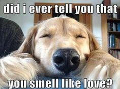 Goldens smell like love, too!
