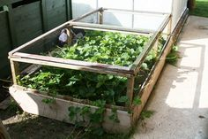 Protecting strawberries from birds