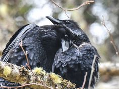 Watch the PBS program about testing them. They think through things, use tools, and can recognize facial expressions and remember humans. Your daily ravens.love is in the air, photo by Wendy Davis Photography Quoth The Raven, Raven Bird, The Crow, Love Birds, Beautiful Birds, Animals And Pets, Cute Animals, Wild Animals, Wendy Davis