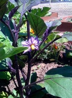 Our sustainable community Garden in Los Angeles Japanese Egg Plant
