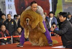 Cão mastim tibetano obeso chama atenção em concurso na China  Competição foi realizada em Shenyang.