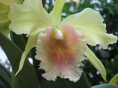 Yellow Cattelya Orchid...