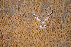 Whitetail deer hiding in teasel