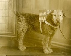 Dogs had a variety of uses during the war, from being companions to messengers and collecting much needed funds like this Airedale