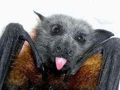 19 GIFs & Photos Of Baby Bats That Will Drive You Batty – Dogs get cones, bats get bibs Cheers Big Ears! Nature Animals, Animals And Pets, Baby Animals, Funny Animals, Cute Animals, Pretty Animals, Cute Creatures, Beautiful Creatures, Animals Beautiful