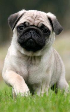 Adorable Pug