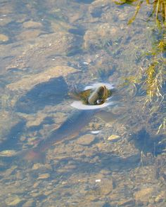 Brown trout sipping on Missouri River