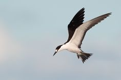 Sooty Tern - Florida | Flickr - Photo Sharing!